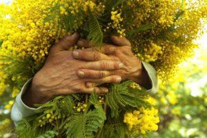 Sicilia, il 'caldo inverno' fa sbocciare in anticipo le mimose: monitoraggio della Coldiretti